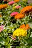 Zinnia flower Stock Photos