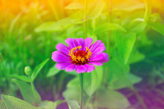 Zinnia flower in a garden. Closeup of red (purple, lilac) Zinnia flower in full bloom Stock Photos