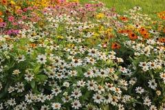Zinnia flower in the garden. Zinnia flower field background in the garden Stock Photography