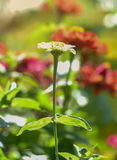 Zinnia Flower. Garden filled with colorful s Stock Image
