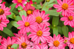 Zinnia flower  in the garden. Macro shot Royalty Free Stock Images