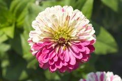 Zinnia flower in the garden. The Nerherlands Royalty Free Stock Photo
