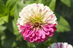 Zinnia flower in the garden. The Nerherlands Stock Photos