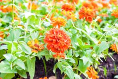Zinnia flower in garden. Zinnia is a genus of plants of the sunflower tribe within the daisy family. They have a variety color and use for decorate in many Royalty Free Stock Photo