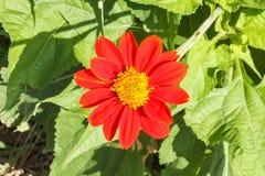 Zinnia flower. Stock Images