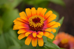 Zinnia flower. Growing in the garden Royalty Free Stock Photography