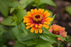 Zinnia flower. Growing in the garden Royalty Free Stock Images