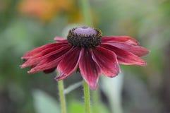 Zinnia flower. Growing in the garden Stock Image