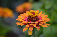 Zinnia flower. Growing in the garden Royalty Free Stock Photo