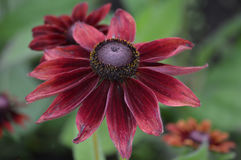Zinnia flower. Growing in the garden Royalty Free Stock Photos
