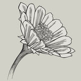 Zinnia flower, hand-drawing. Vector illustration. Royalty Free Stock Photo
