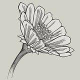 Zinnia flower, hand-drawing. Vector illustration. Royalty Free Stock Photo