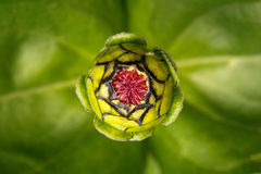 Zinnia Flower Head στοκ εικόνα με δικαίωμα ελεύθερης χρήσης