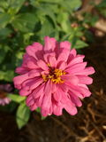 Zinnia flower. Is a herbaceous plant with bristly hairs, often itchy general leaves out the opposite. Each pair of orthogonal elliptical or oval end or quite Stock Photography