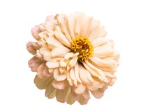 Free Zinnia Flower Isolated Royalty Free Stock Photos - 123156538