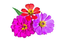 Zinnia flower isolated Stock Image