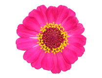 Zinnia flower Royalty Free Stock Photography