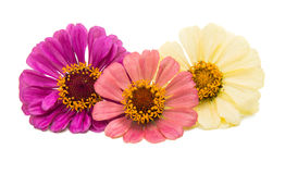 Zinnia flower isolated Stock Photos