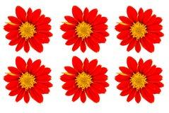 Zinnia flower isolated. On white background close-up Royalty Free Stock Photo