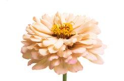 zinnia flower isolated royalty free stock photos