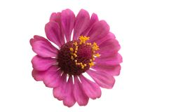 Zinnia flower isolated stock photo