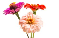 Zinnia flower isolated stock images