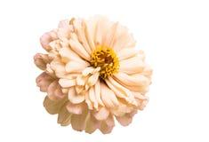 Zinnia flower isolated. On white background royalty free stock photos