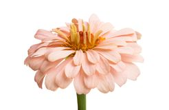 zinnia flower isolated stock photos