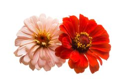 zinnia flower isolated royalty free stock photography