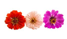 zinnia flower isolated royalty free stock images