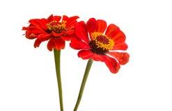 zinnia flower isolated stock image