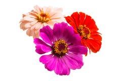 zinnia flower isolated stock photography