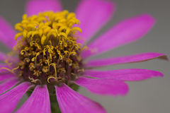 Zinnia flower. Royalty Free Stock Image