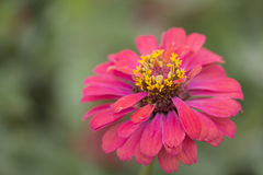 Zinnia flower macro close up. Stock Photos