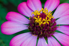 Zinnia flower. Macro photography in the garden Stock Images