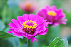 Zinnia flower macro view photography. Elegant pink violet petals plant on blurred green background. Copy space, shallow Royalty Free Stock Images