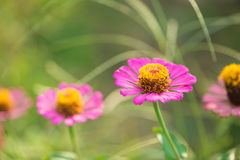 Zinnia flower on nature background Stock Photography