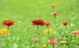 Zinnia flower Royalty Free Stock Photo