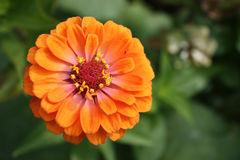 Zinnia flower orange Stock Image