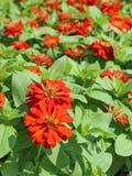Zinnia Flower. Orange Zinnia Flower in the garden Royalty Free Stock Image