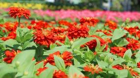 Zinnia Flower. Orange and Pink Zinnia Flower in the garden Royalty Free Stock Photo