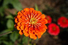 Zinnia Flower Orange Royalty Free Stock Image