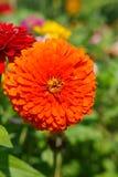 Zinnia Flower Orange Vertical Royalty-vrije Stock Afbeeldingen