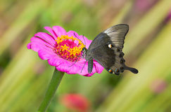 Zinnia flower in pair with black butterfly Stock Photos