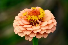 Zinnia flower with peach-coloured petals macro. Macro of a zinnia flower with layers of small peach-coloured petals and yellow stamens stock images