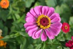 Zinnia flower pink Royalty Free Stock Image