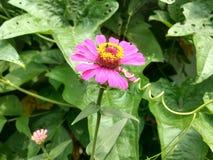 Zinnia. Flower pink  flora beautiful Stock Photos