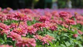 Zinnia Flower. Pink Zinnia Flower in the garden Royalty Free Stock Photos