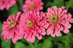 Zinnia Flower. Pink Zinnia Flower in the garden Stock Photo
