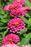 Zinnia Flower. Pink Zinnia Flower in the garden Royalty Free Stock Photo